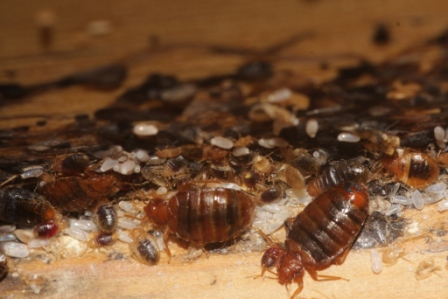 Bed bugs, nymphs, bed bug eggs