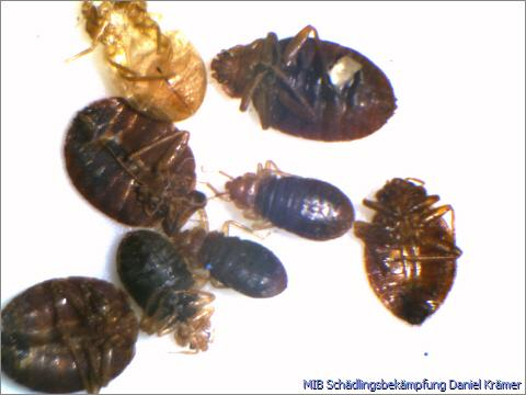 Multiple bed bugs